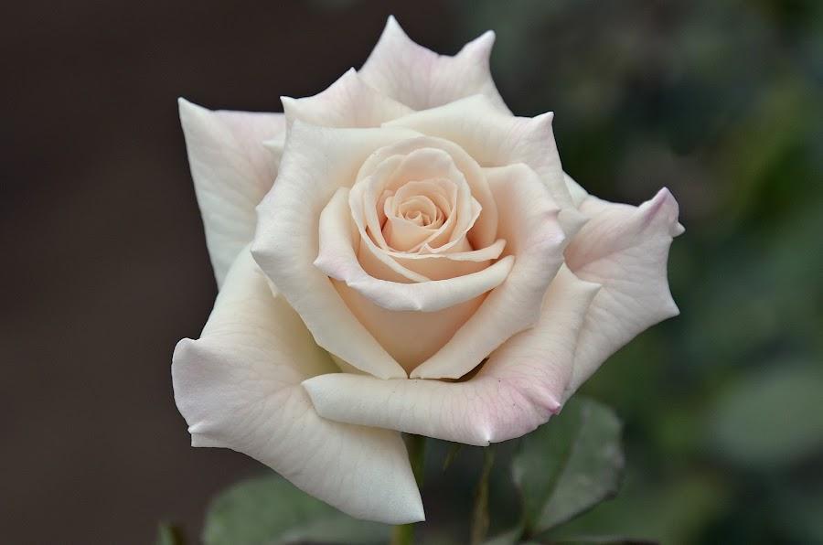 peach rose by Muhammad Farooq - Flowers Single Flower