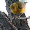 Prothonotary warbler, female