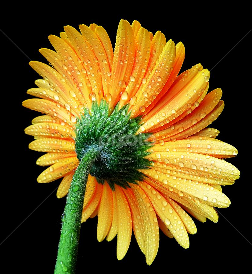 Orange dream by Biljana Nikolic - Flowers Single Flower