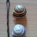 White lipped snail (Gartenbänderschnecke, Schnirkelschnecke)