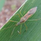 Leaf Hopper Assassin Bug