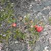 Gall on Scrub Oak
