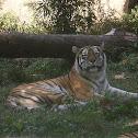 Amur Tiger or Siberian Tiger