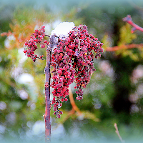 Red Cluster in the Snow by Ruby Stephens - Nature Up Close Other plants ( red, lomo, snow, odd plant, bokeh )