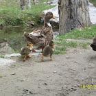 Organic Ducks