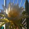 Hylocereus undatus (Cactus)