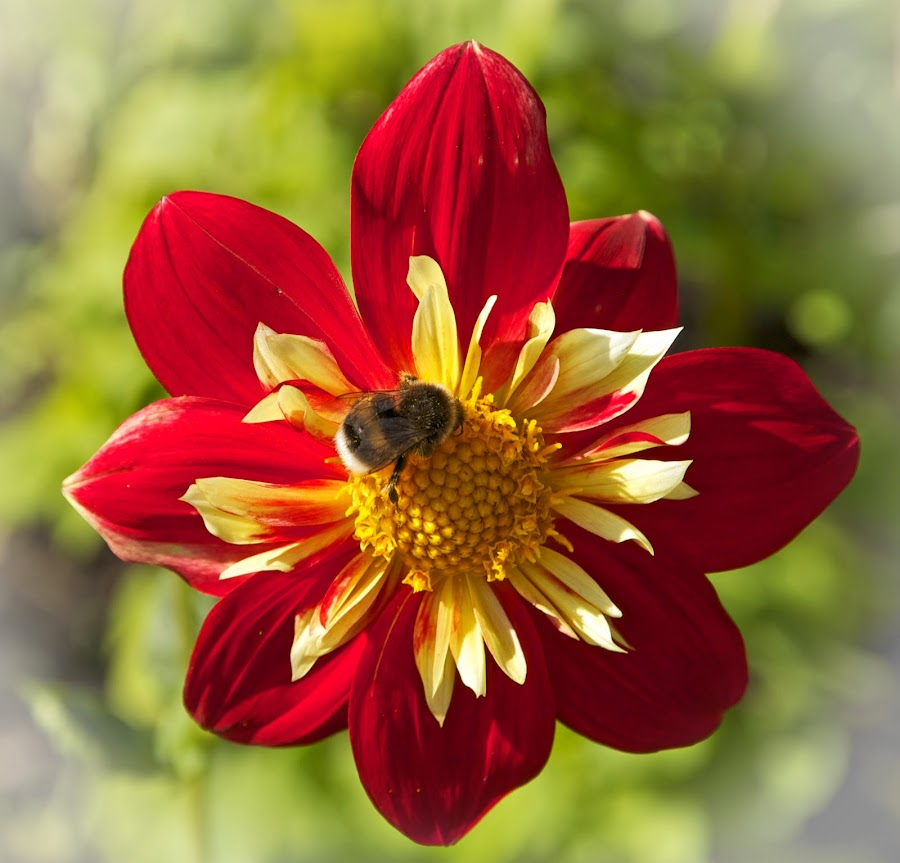 by Bente Agerup - Flowers Single Flower ( bees, red, nature, yellow, flowers )