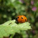 seven-spotted ladybug ; mariquita de siete puntos