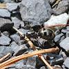 Striped Carpenter Ant