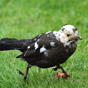 Blackbird with Leucism