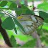 Striped Albatross Butterfly (Female)