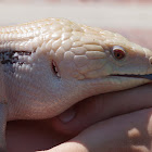 Western Blue Tongued Skink