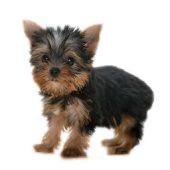 Yorkshire terrier  Yorkies Dog