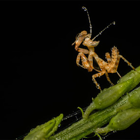 Primp by Stevie Go - Animals Insects & Spiders ( animals, macro, dark, wet, mantis, primp, insects, insect, black,  )
