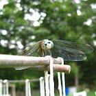 dragonfly (blue dasher) Pachydiplax longipennis