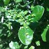 Leaf galls on Texas Persimmon