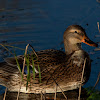 Wild Duck (Anas platyrhynchos)
