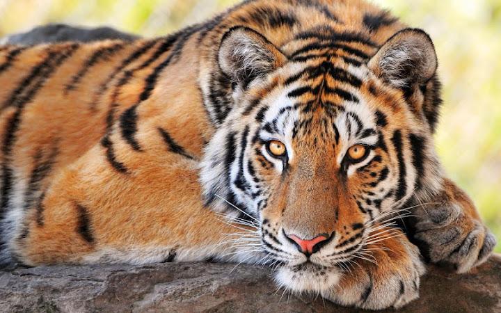Tiger Live Wallpaper Android App Screenshot