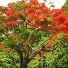 Flame Tree / Royal Poinciana / Flamboyant Tree