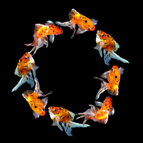 Goldfish O: by Janna Morrison - Typography Single Letters ( o )