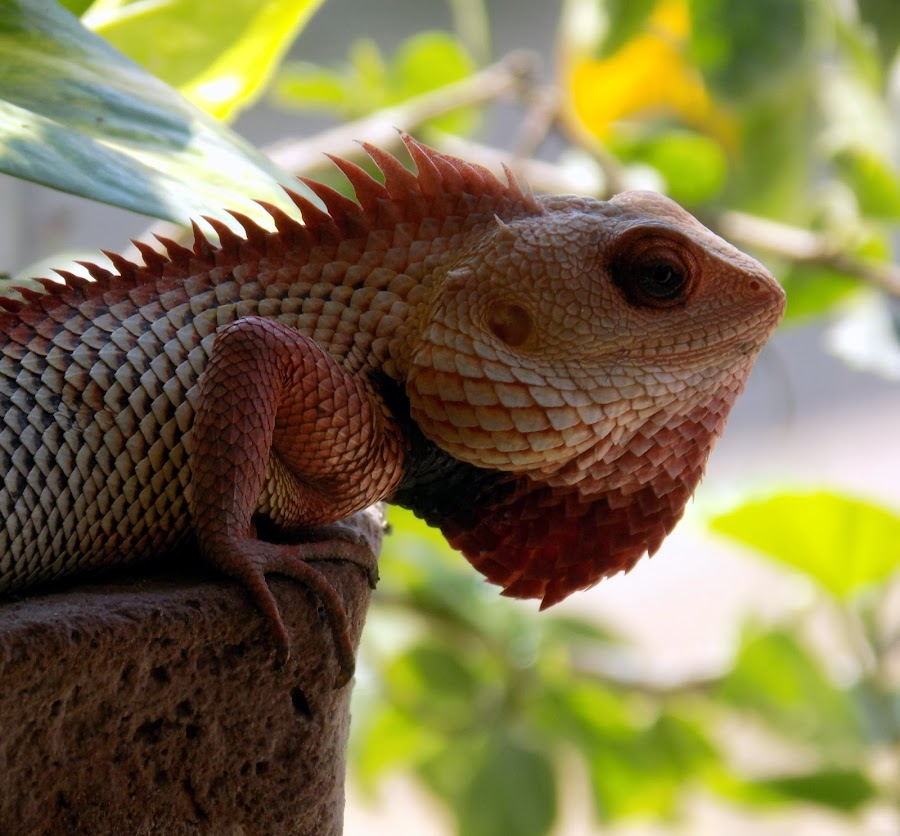 Calotes by Sujay Patel - Animals Other ( lizard, animals, nature, nature up close, wildlife )