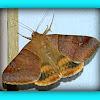 Noctuid Moth (Catocalinae)
