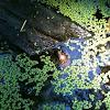 Green Frog and duckweed