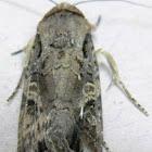 Fall Armyworm Moth