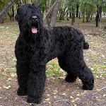 Black Russian Terriers Puzzle