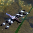 12 spotted skimmer dragonfly (male)