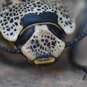 Escarabajo de Madera/Ironclad Beetle