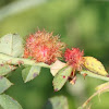 Rose bedeguar gall, Robin's pincushion gall, or Moss gall
