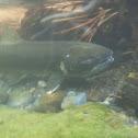 Chinook (King) Salmon