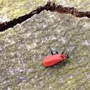 Black-headed cardinal beetle