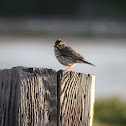 Eastern Savannah Sparrow