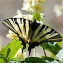 Segelfalter / Scarce Swallowtail
