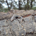 Firschein's False Brook Salamander