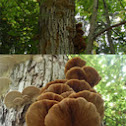 Shelf fungi on Basswood