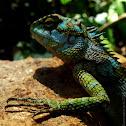 Juvinile Whistling Lizard