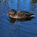Female Mallard Duck
