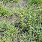Pineappleweed/wild chamomile