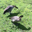 Ne-ne or Hawaiian goose