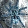 Martinique Tree Spider
