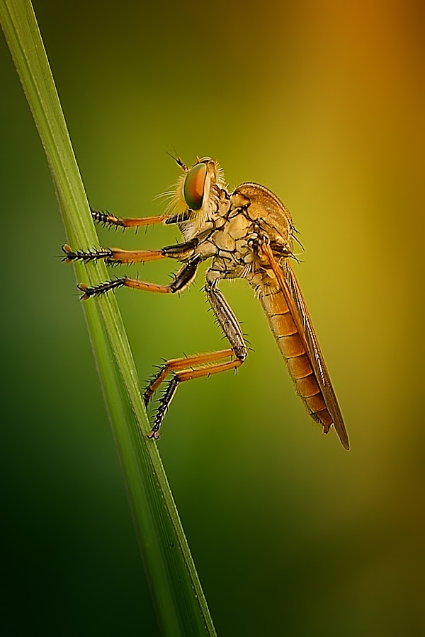 robberfly by Rhonny Dayusasono - Animals Insects & Spiders
