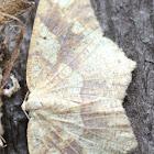 Oak Geometer Moth