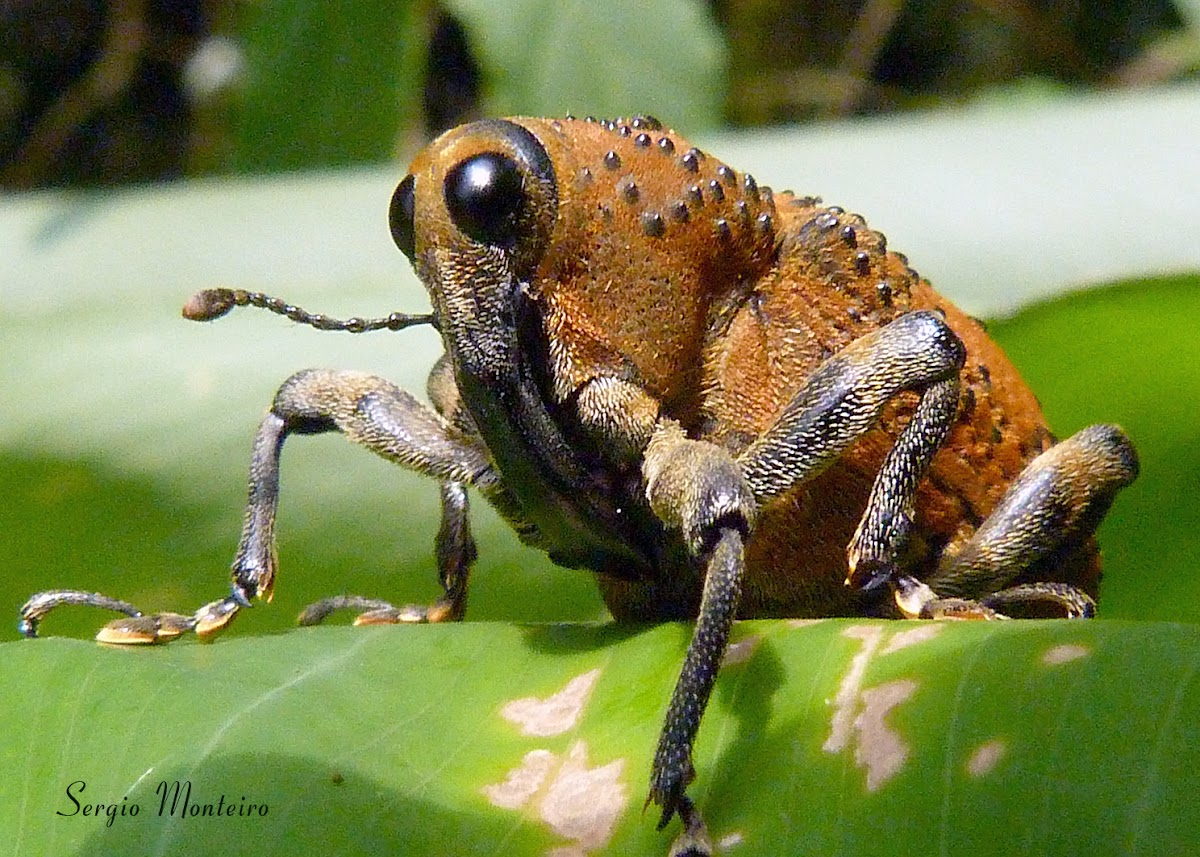 Conoderine Weevil