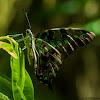 Andaman Tailed Jay