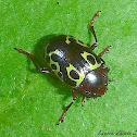 Calligraphy Leaf Beetle