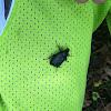 Black flower beetle