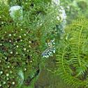 Flabellina exoptata